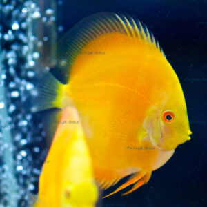 Discus Yellow Diamond