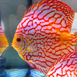 Discus Pigeon Checkerboard 14 cm