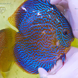 Discus Show Red Galaxy Starlight 18 cm