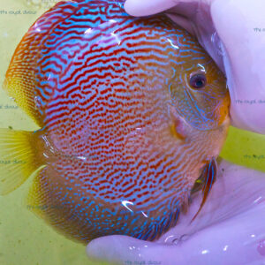 Discus Show Red Snake Skin 18 cm