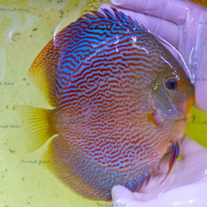 Discus Show Red Snake Skin