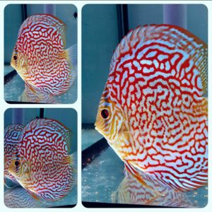 Discus Turquoise Red Maze 15 cm