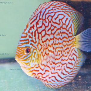 Discus Turquoise Red Maze