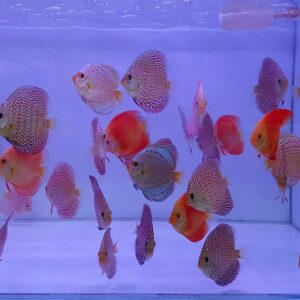 Discus-Indiana Tiger e Red Melon 9cm