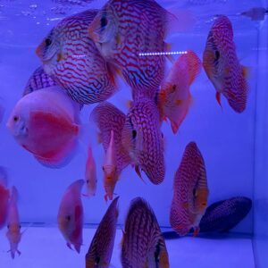 Discus White & Red e Turchese Red 12cm