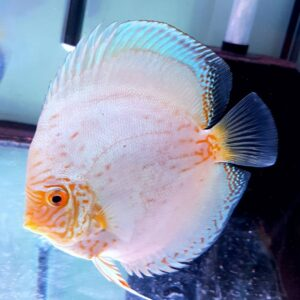 Discus Reflection Deep 15 cm