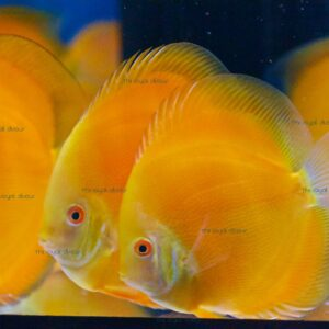Discus Yellow Diamond 9cm Symphysodon