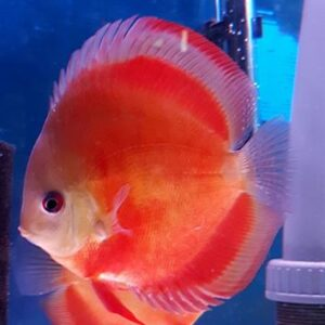 Discus Red Cover 14cm