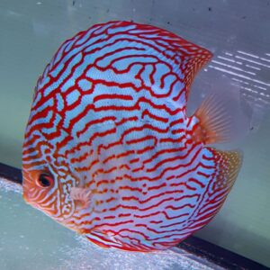 Discus Turchese Red 18 cm