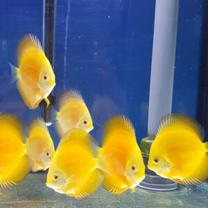 Discus Yellow Diamond 11cm