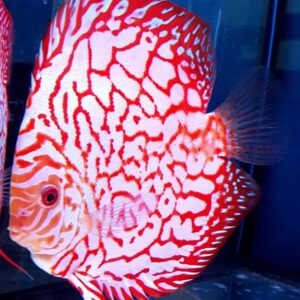 Discus Pigeon Checkeboard 16cm