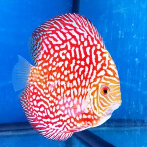 Discus Pigeon Checkerboard 14cm