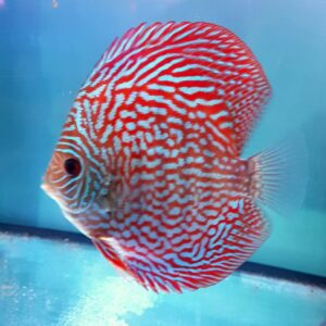 Turchese Red Discus 14cm
