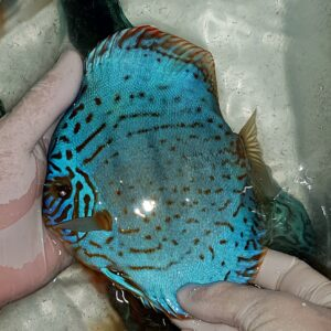 Discus Turchese Brilliant 16cm