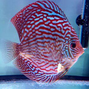 Discus Turchese Red 15cm