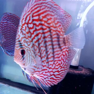 Discus Red Turchese 15cm