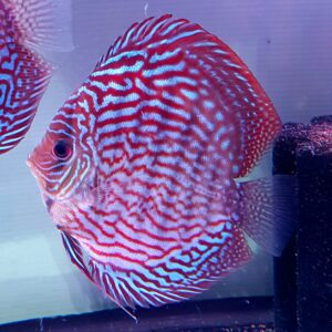 Discus Turchese Red 15-16cm