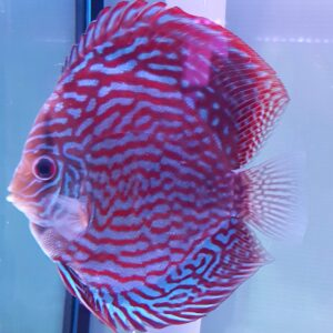 Discus Red Turchese 15-16cm