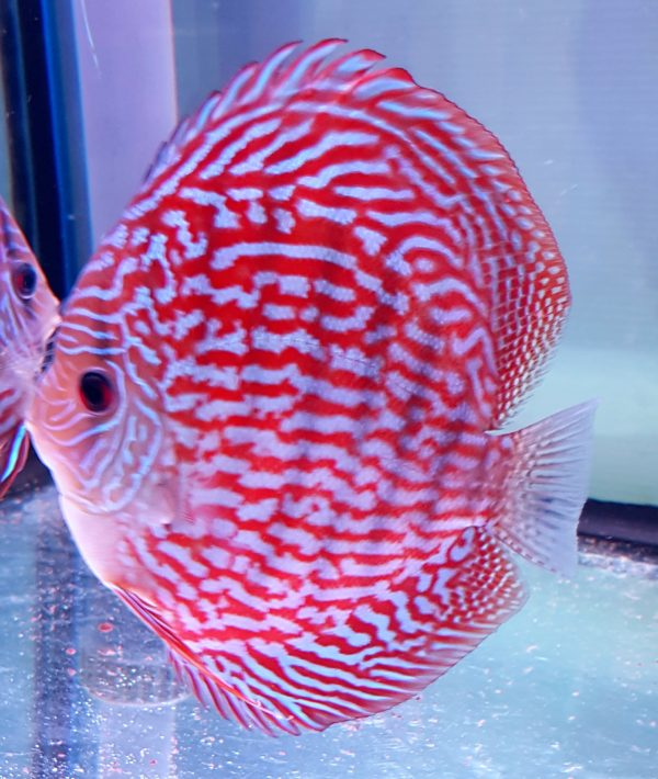 Discus Turchese Red 16cm