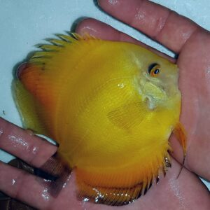 Discus Yellow Diamond 12 cm