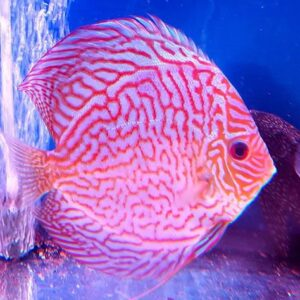 Discus Turchese Red 15 cm