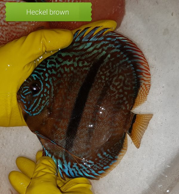 Discus Heckel Brown 15-16 cm