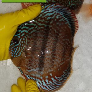 Discus Heckel Brown 15-16cm