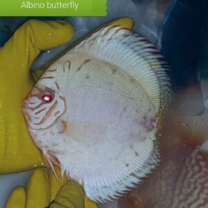 Discus Albino Butterfly