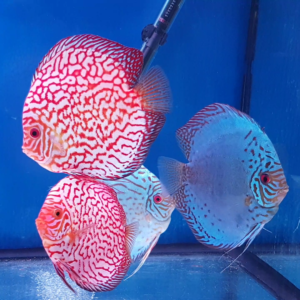 Discus Pigeon Checkerboard 15 cm