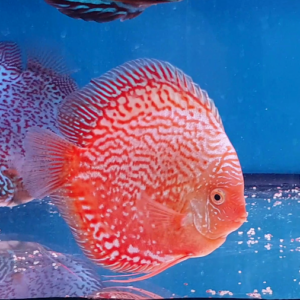 Discus Stardust Red