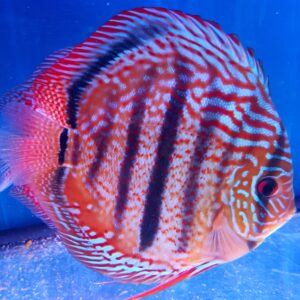Discus Heckel Brown 16-17cm