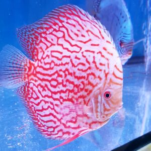 Discus Pigeon Red Map