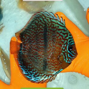 Discus Heckel Brown 16cm