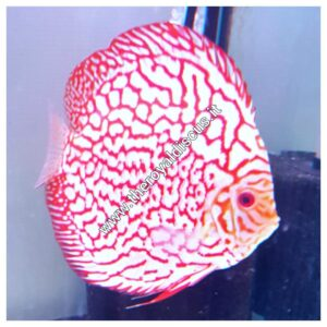 Discus Pigeon Red Map 15 cm