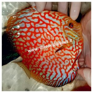 Discus Pigeon Red Map 15cm