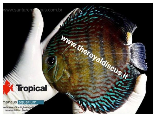 Discus Iripixi Royal Red Eyes 15 - 19 cm