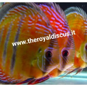 Discus Iripixi Red Semi Royal 10-13cm
