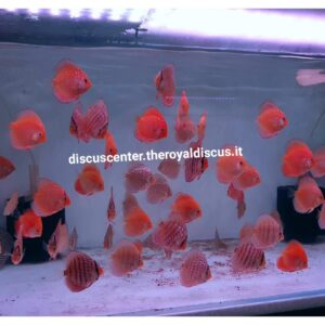 Discus 8cm Heckel Cross, Snake Skin Red