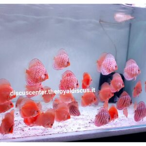 Discus 8cm Turquoise Red, Alenquer Red, Red Melon