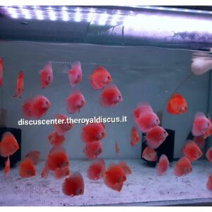 Discus 8cm White&Red, PigeonCheckerboard, MarlboroRed