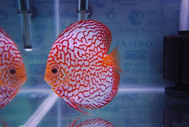 SG Discus- discus pigeon red map