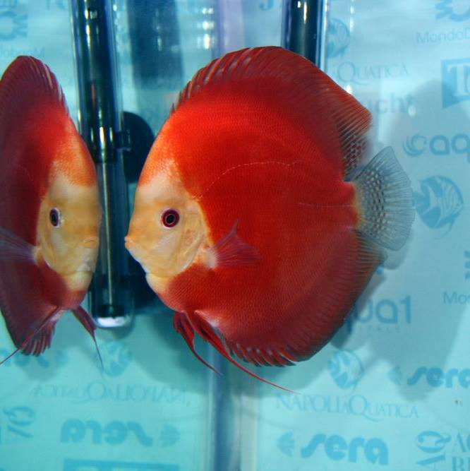 SG Discus- discus red melon