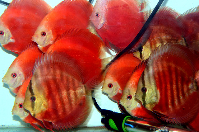 SG Discus- discus red rose e discus red melon