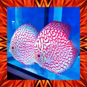 Discus Pigeon Red Map 16 cm