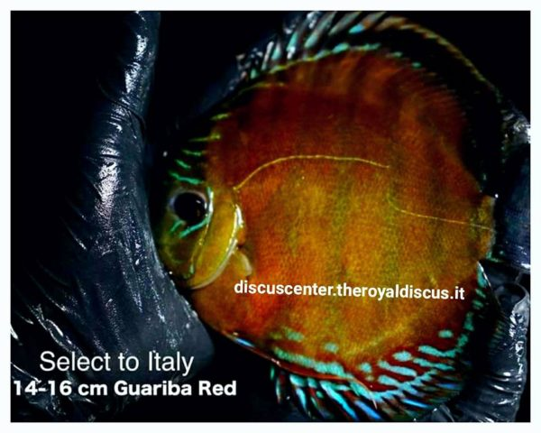 Discus Wild Guariba Red 14-16 cm