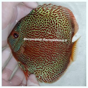 Discus Leopard Snake Skin