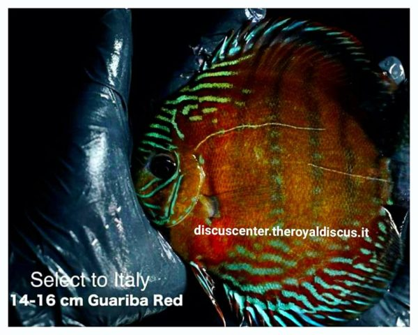 Discus Wild Red Guariba 14-16cm