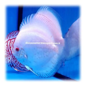 SG Discus Super White Butterfly 14cm