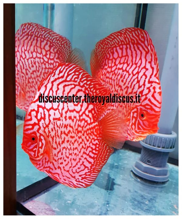 Discus Pigeon Red Map 15-16cm