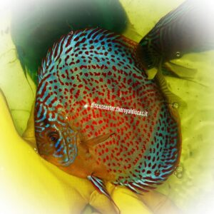 Discus Golden Leopard Intermediate 15cm